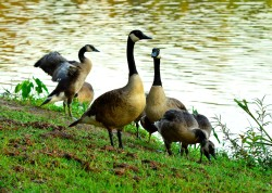 geese takeover 1