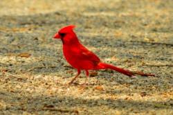 gvsp cardinal